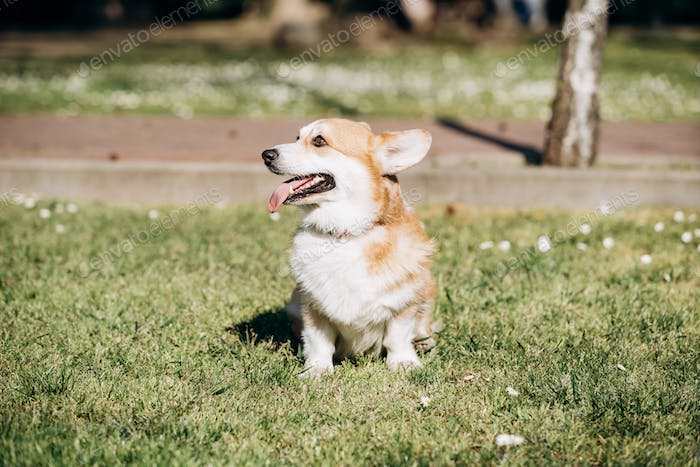 Welsh Corgi Pembroke walks in the Park on a Sunny day