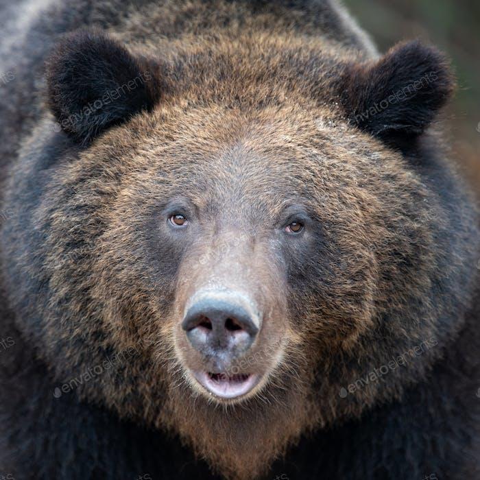 Portrait bear in autumn forest