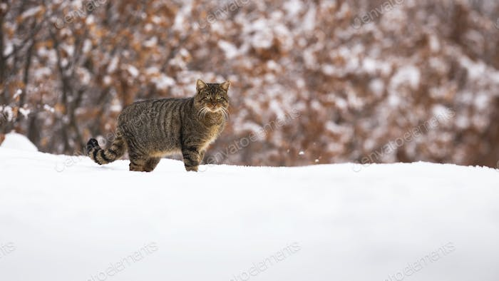 European wildcat standing on meadow in winter nature