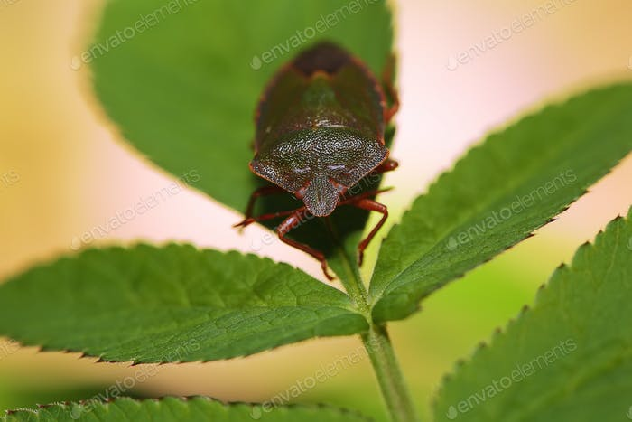 Shield Bug Or Stink Bug