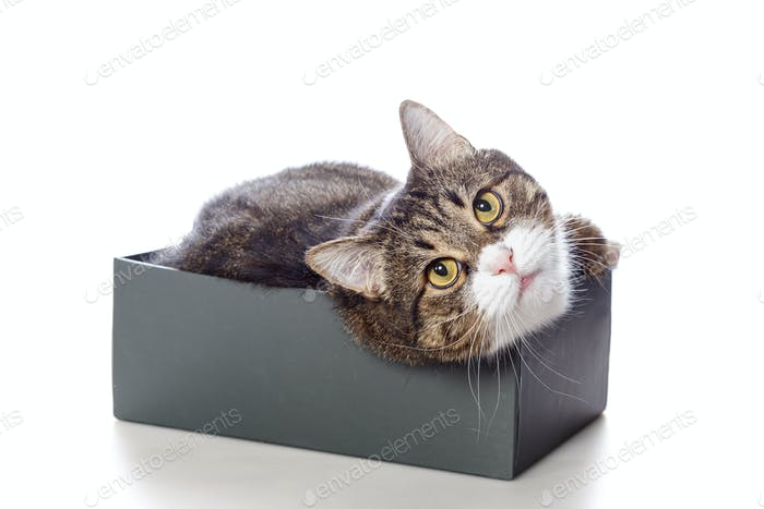 Beautiful gray cat lying in a box