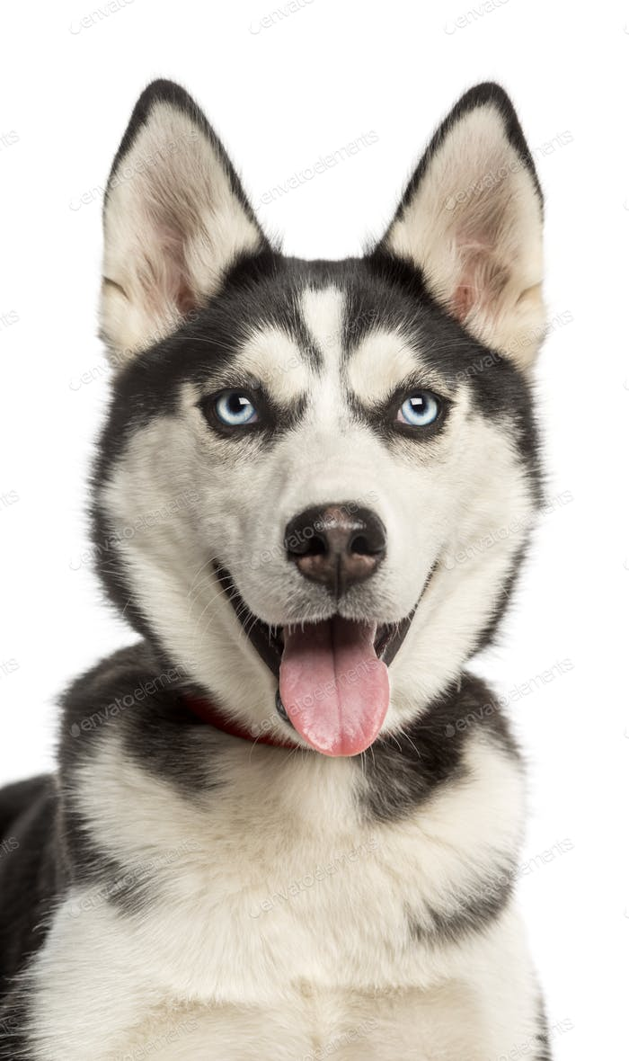 Close Up Of A Siberian Husky Puppy 6 Months Old Panting Isolated