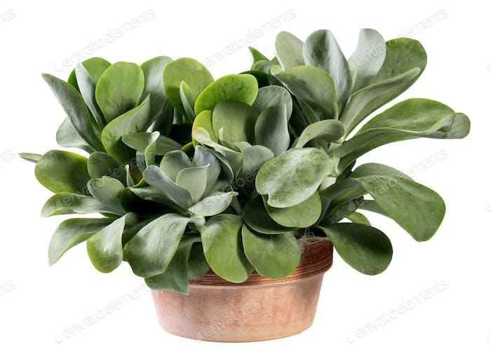 Kalanchoe thyrsiflora plant in terracotta pot