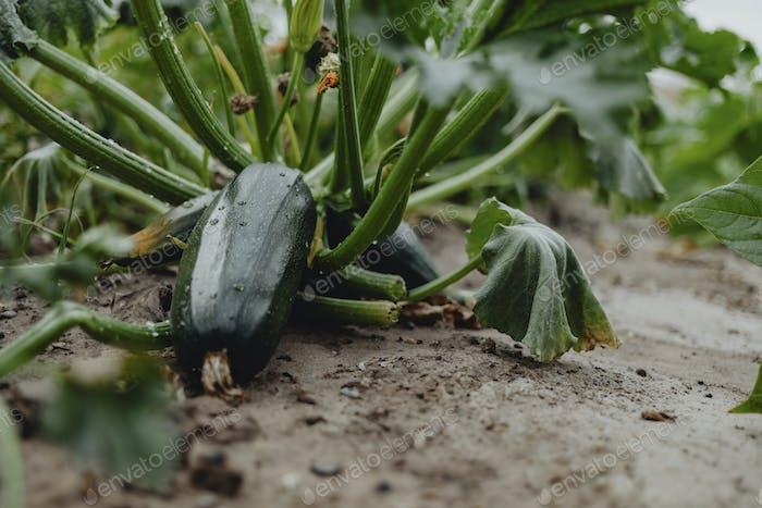 Zucchini in the field