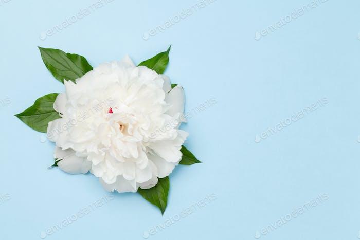 Weiße Pfingstrose Blume