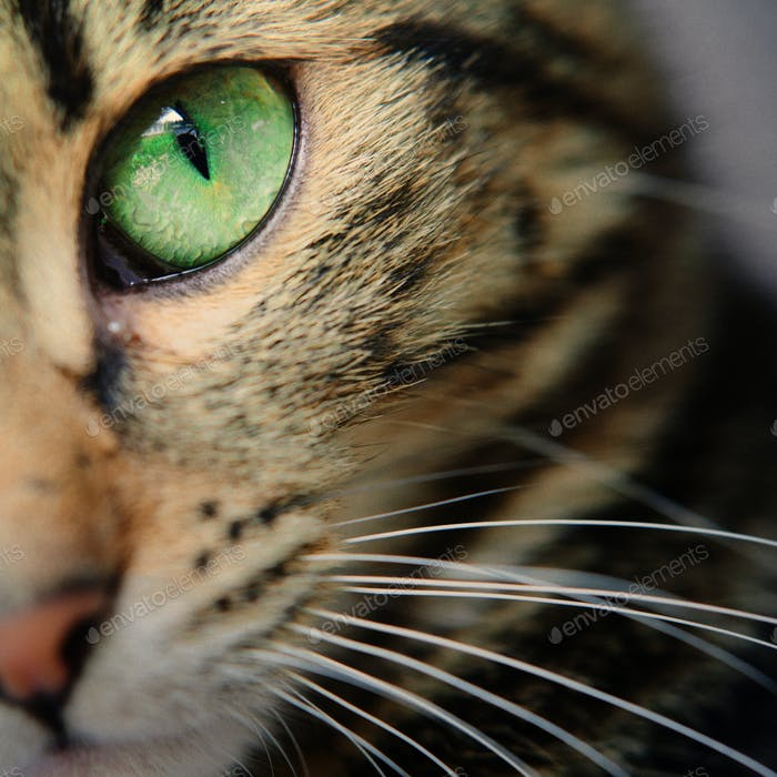 A macro shot of a young tabby cat's face. Focus on his gorgeous green eyes