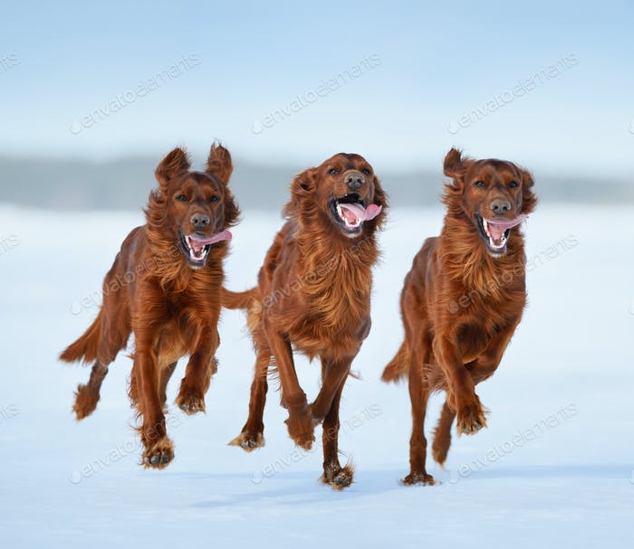 Irish Setters in motion