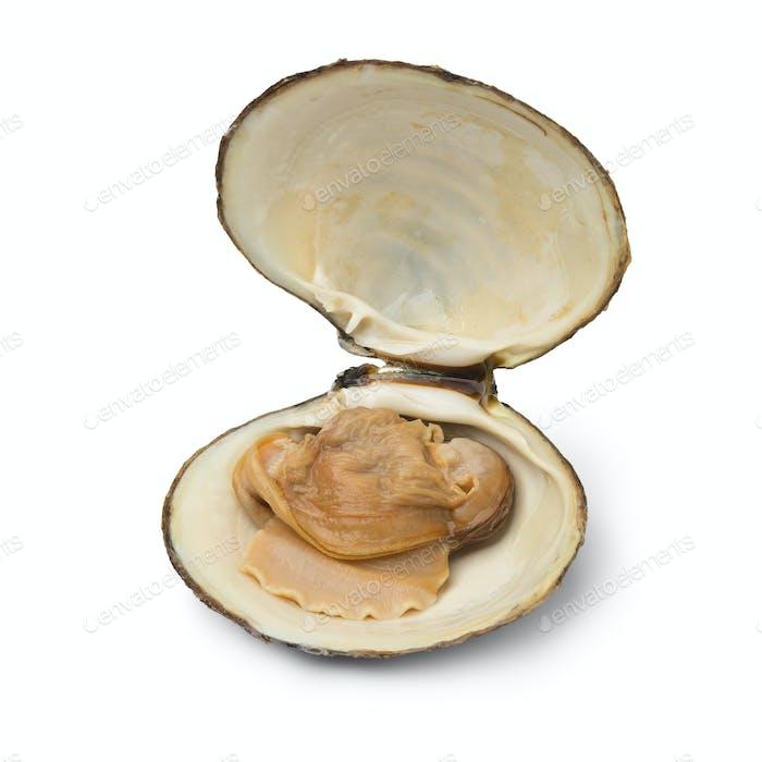Einzeln frisch gekochte Spisula Solida oder Surf Muschel