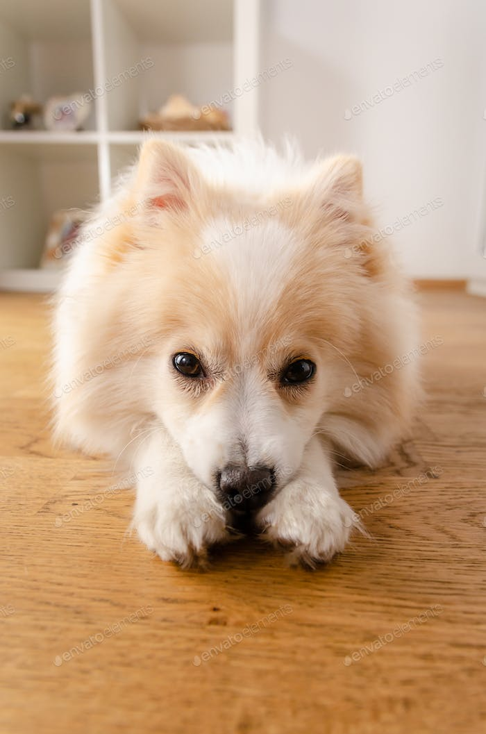 A dog of the Pomeranian dog breed lies on the floor, background