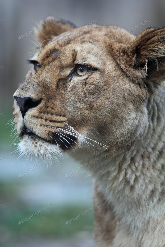 Nahaufnahme Porträt einer majestätischen Löwin (Panthera Leo) in der Natur