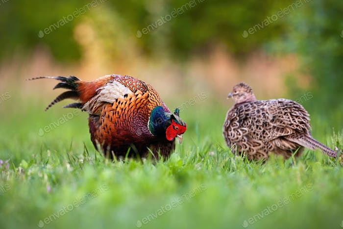 Pair of common pheasant in courting season in spring nature