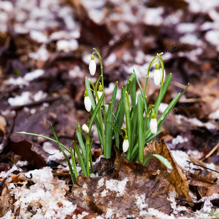 snowdrop, Galanthus nivalis. first spring flowers, snowdrops in