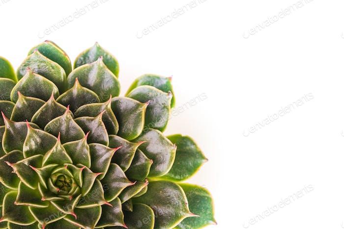 Abstrakte Nahaufnahme Draufsicht auf das Grün der Echeveria Capri. Abstraktes Makro für selektive Fokussierung
