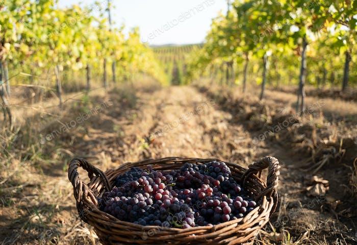 freshly harvested grapes in wicker baskets in the vineyard