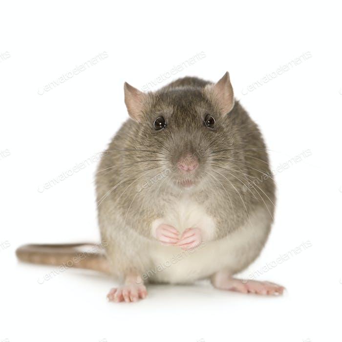 Rat (6 months)