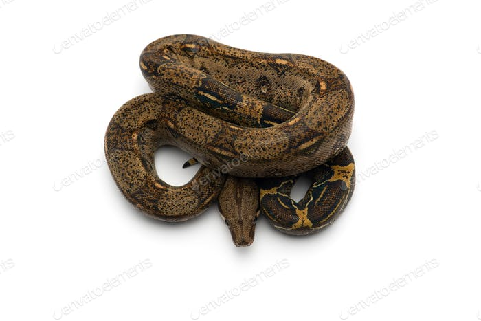 Red Tail Boa isolated on white background