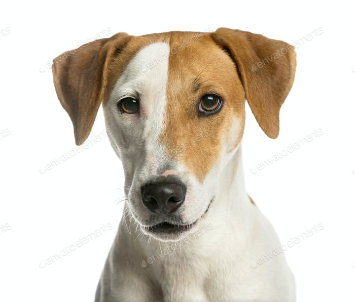 Close-up of a Jack Russell Terrier in front of a white background