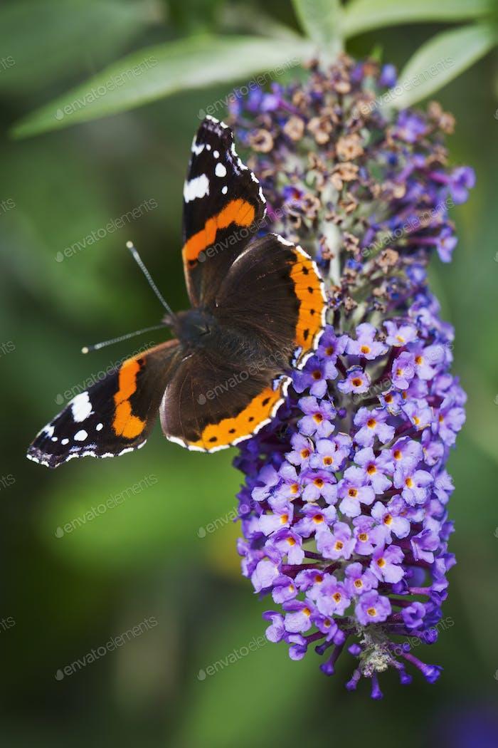 Nahaufnahme von Admiral-Schmetterling sitzt auf einer lila lila lila Blume.