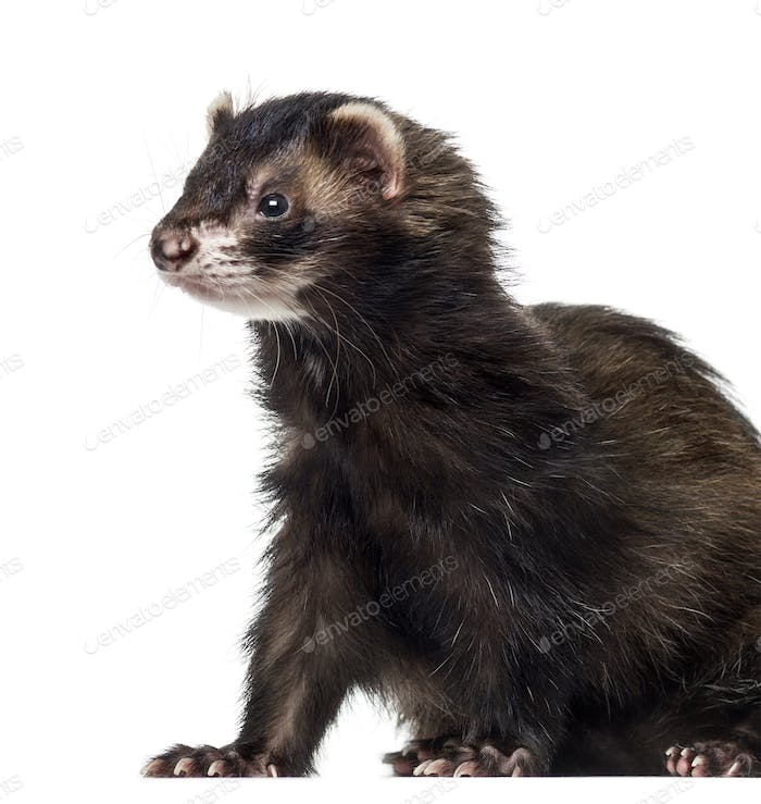 Ferret (3 years old)