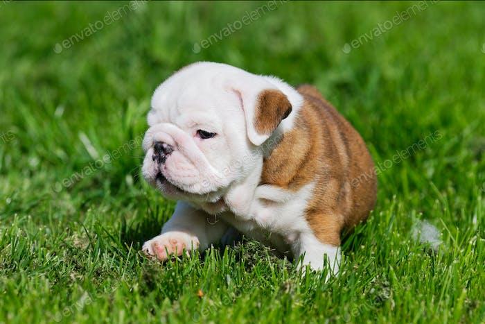 Portrait of the english bulldog outdoo