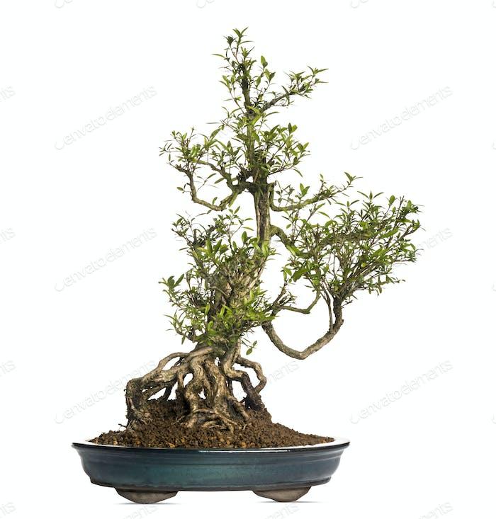 Serissa bonsai tree, Serissa foetida, isolated on white