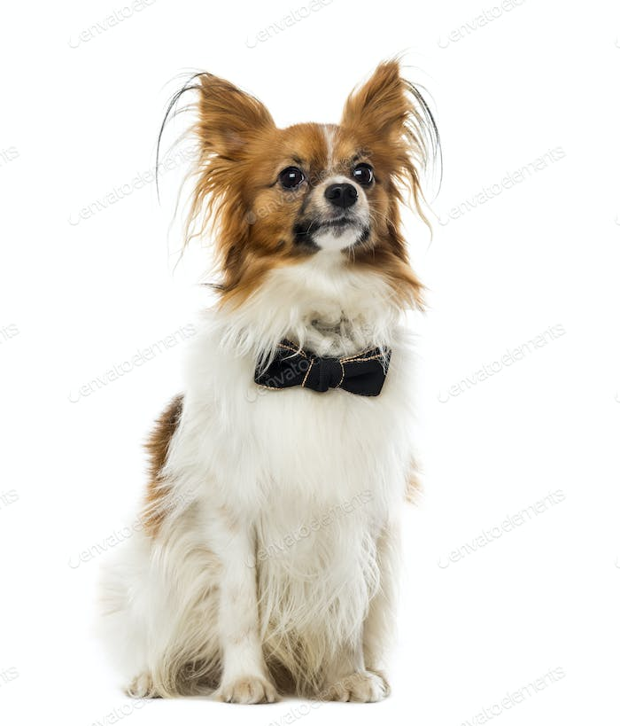 Chihuahua in front of a white background