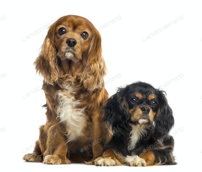 Two Cavalier King Charles Spaniel sitting and lying, isolated on white
