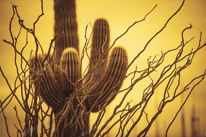Champion Saguaro Arizona