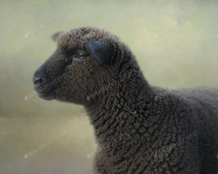Composite portrait of a black sheep in full fleece looking to the left