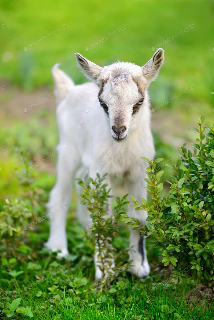 White baby goat standing on green lawn