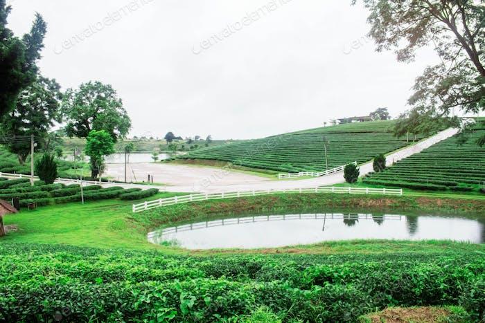 Tea plantation and pond on hill