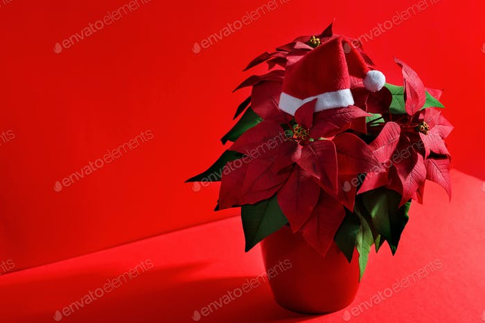 Red flower Poinsettias as a symbol of Christmas.