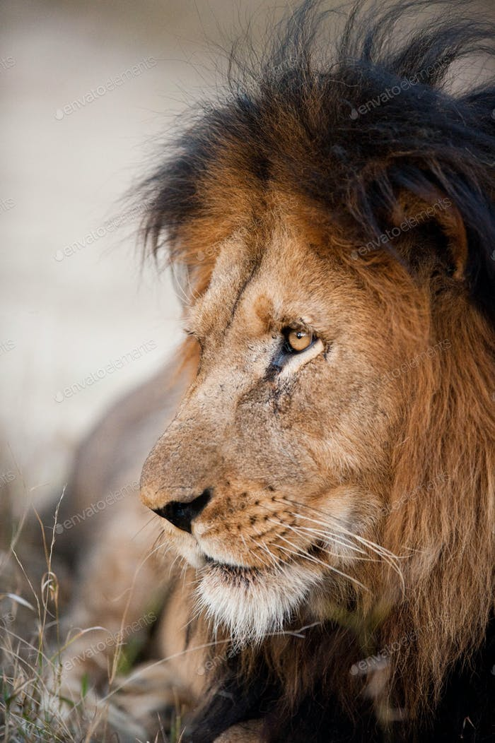Older male lion