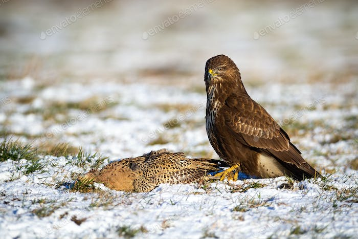 Dominant common buzzard sitting on the snowy field with its prey in winter