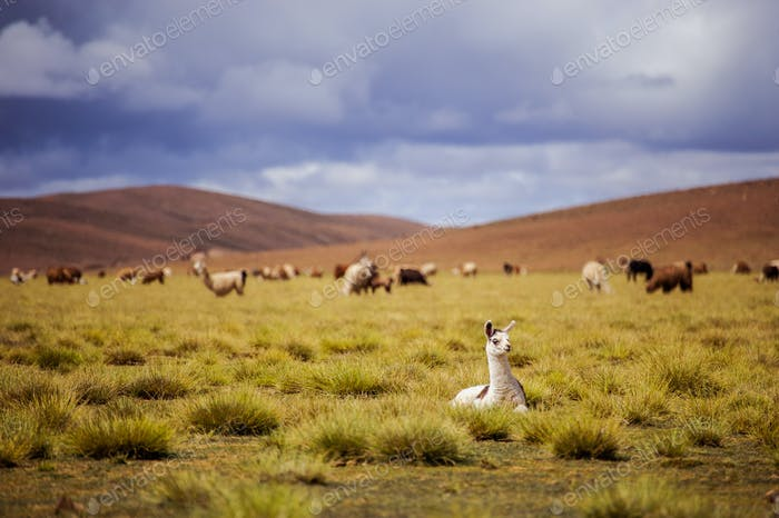 Alpacas on the Altiplano. Bolivia. South America. Eat grass.
