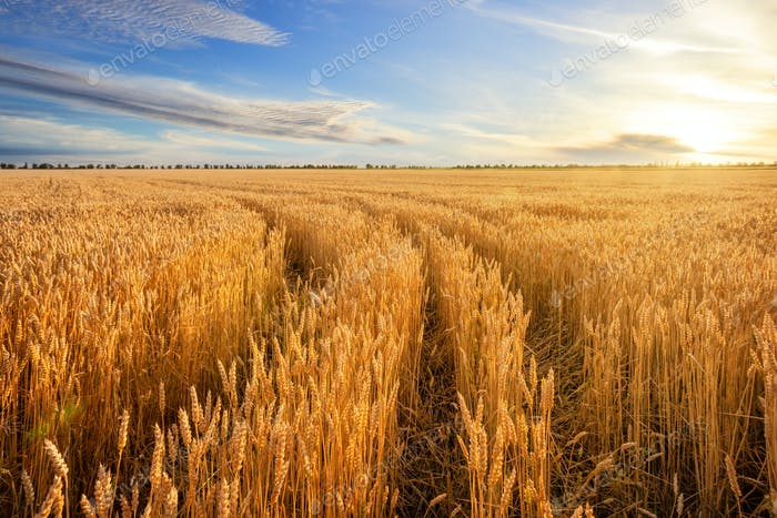 Road among golden ears of wheat in field under blue sky