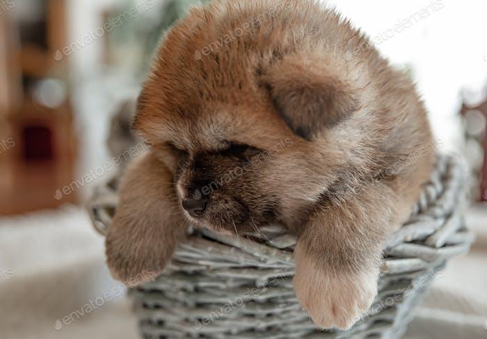 Close-up of a little cute puppy in a basket.