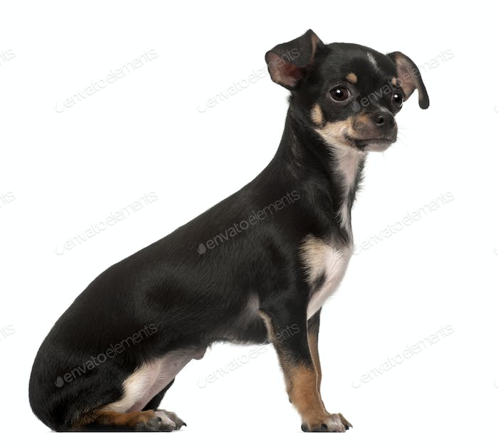 Chihuahua puppy, 4 months old, sitting against white background
