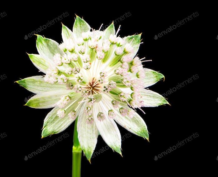 Blossom of a masterwort flower