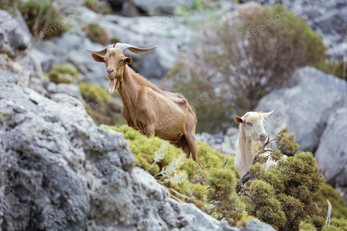 Male and female goats in mountains on coast