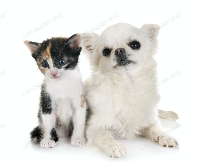 moggy kitten and chihuahua