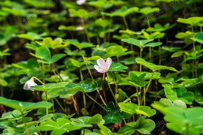 Redwood Sauerampfer Blume und Blätter (Oxalis Oregana)
