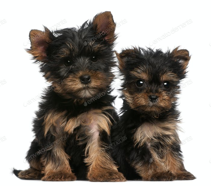 Yorkshire Terrier puppies, 8 weeks old, in front of white background