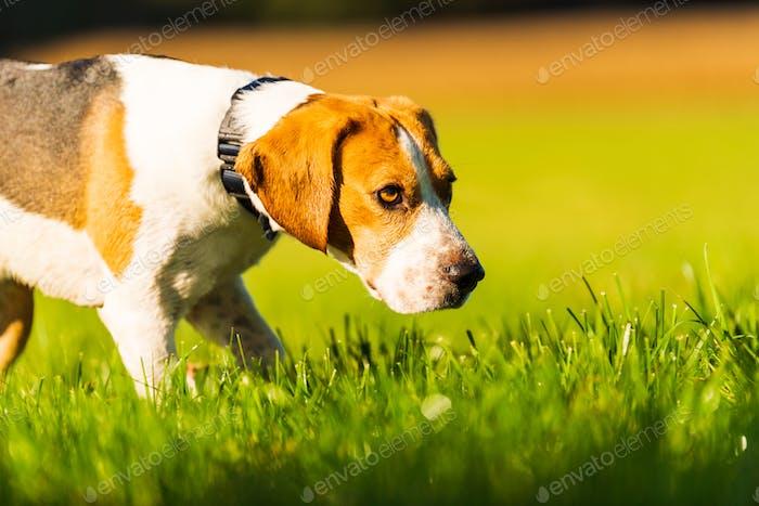 Happy dog running through a green vivid meadow towards camera.