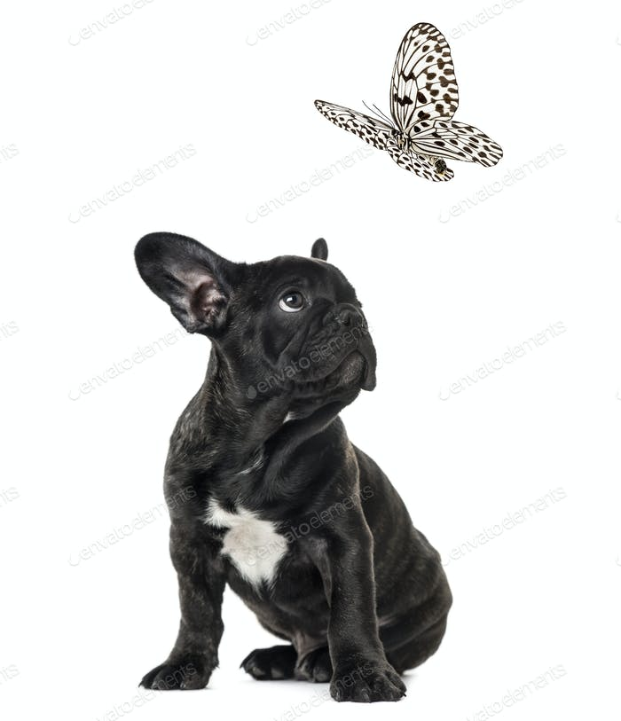 Puppy Black French bulldog watching at a black and white butterfly , isolated on white
