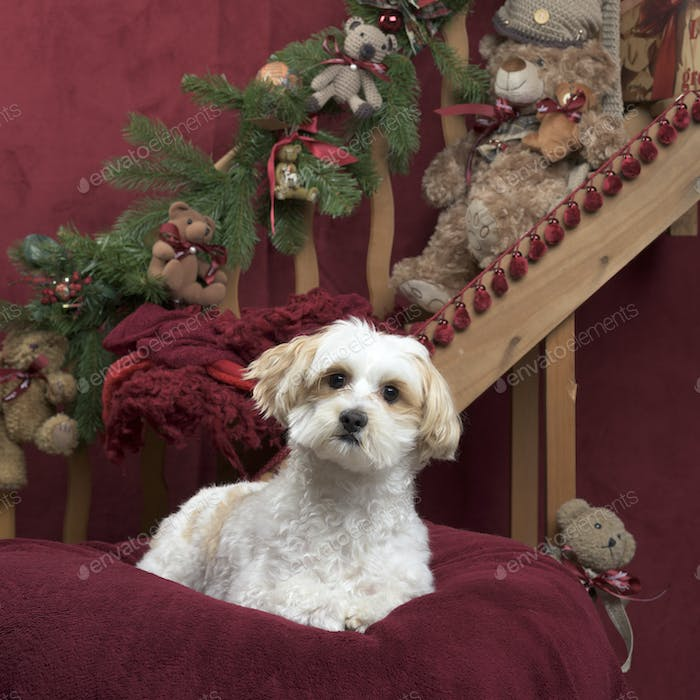 Maltese in Christmas decoration