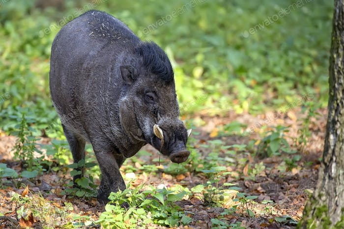 Visayan Warty Pig in the forest