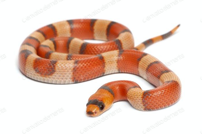 Tricolor hypomelanistic Honduran milk snake, Lampropeltis triangulum hondurensis