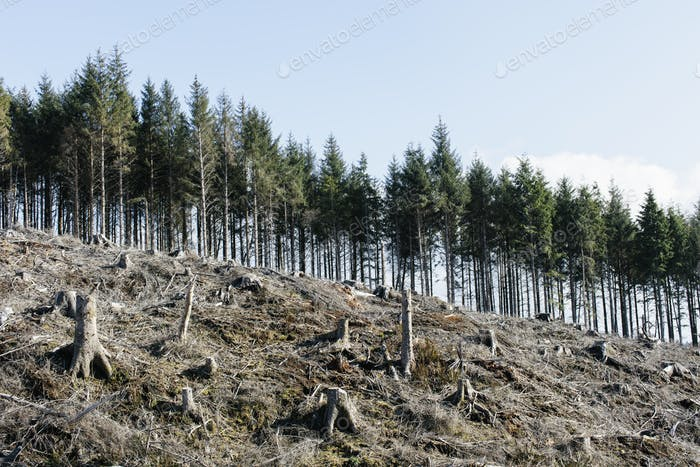 Open landscape, a hillside of logged spruce, hemlock and fir trees