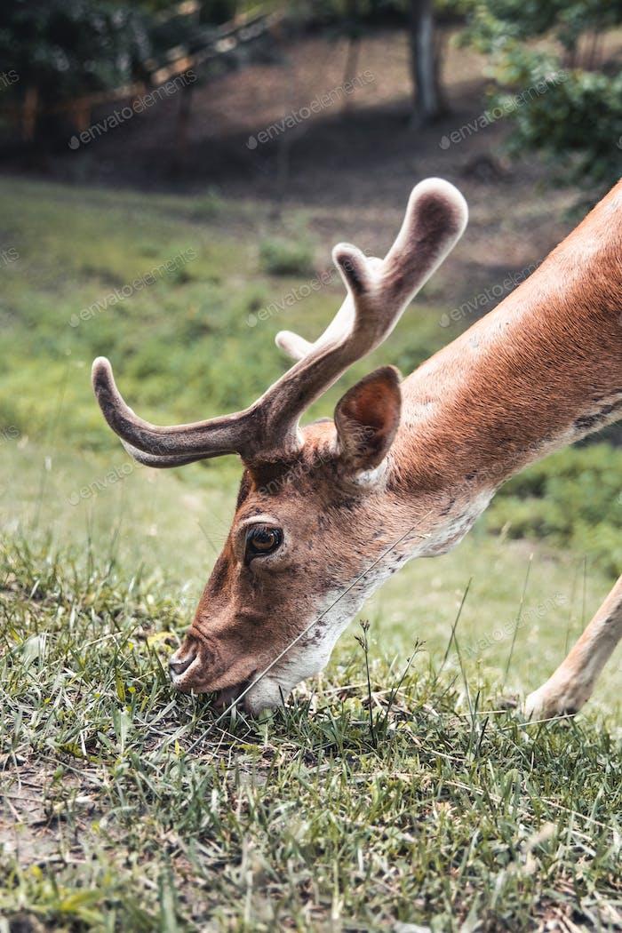 Sika deer eating grass